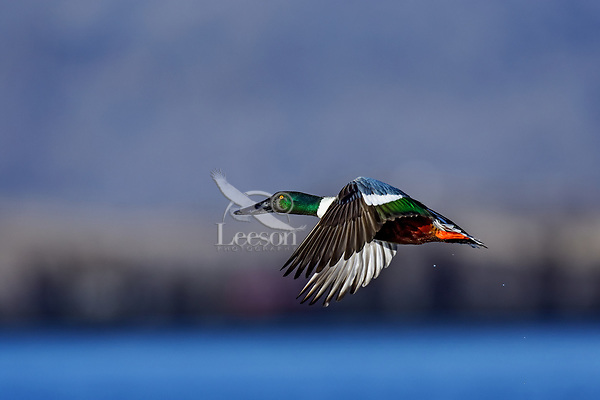 Northern Shoveler (Anas clypeata) drake flying.  Oregon-California border.  Late winter/early spring.