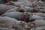 Hundreds of hippos cram together as they wallow in a cooling mud bath. The huge animals are tightly packed as they yawn, relax and roll around in the murky water which stops them overheating and protects them from sunburn.<br /> <br /> The pictures were captured by amateur photographer Anne-Marie Vermaat while she was on safari in Tanzania.  SEE OUR COPY FOR DETAILS.<br /> <br /> Please byline: Anne-Marie Vermaat/Solent News<br /> <br /> © Anne-Marie Vermaat/Solent News & Photo Agency<br /> UK +44 (0) 2380 458800