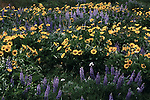 Columbia River Gorge.  At Rowena overlook, wildflowers display their best in layers of purple and gold lupine and balsamroot.