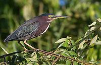 A green heron perches near the Rio Tarcoles.