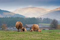 Jersey cows grazing in autumn with Lancashire Fells behind, Dunsop Bridge.