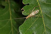 Weinhähnchen, Blütengrille, Oecanthus pellucens, Italian Tree Cricket, Grille, Grillen, Gryllidae, Cricket, Crickets
