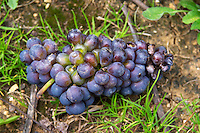Bunch of grape that is half rotten, unripe inside and ripe outside. pinot noir clos st louis fixin cote de nuits burgundy france