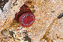 Beadlet anemone {Actinia equina} with tentacles retracted in a rockpool at low tide, Isle of Skye, Scotland. UK. April. Sequence 2 of 2