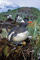 gentoo penguin, Pygoscelis papua, on nest with egg, South Georgia Island, U.K., Atlantic