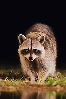 Northern Raccoon, Procyon lotor, adult at ponds edge, Uvalde County, Hill Country, Texas, USA, April 2006
