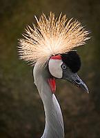 Grey Crowned Crane, Balearica regulorum. Birds at the Wildlife and Bird Sanctuary Langkawi, Malaysia