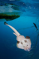 Banded Guitarfish, Zapteryx exasperata caught in a gill net intended for California Halibut. Guerero Negro, Baja, Mexico, Pacific Ocean