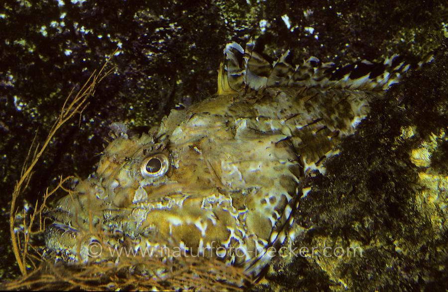 Großer Roter Drachenkopf, Europäische Meersau, Tarnung, Scorpaena scrofa, red scorpionfish, Bigscale scorpionfish, large-scaled scorpion fish, Skorpionfische, Scorpaenidae