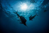 silhouette of Atlantic sailfish, Istiophorus albicans, hunting, Isla Mujeres, Mexico, Gulf of Mexico, Caribbean Sea, Atlantic Ocean