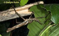 OR07-582z Jungle Nymph Walking Stick male, Heteropteryx dilatata, Malaysia
