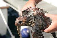 researcher holding a rescued loggerhead turtle, Caretta caretta, Azores Island, Portugal, North Atlantic