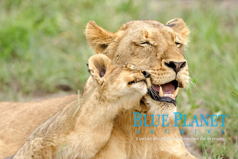 Lion (Panther leo), lioness and cub, social interaction, Sabi Sand Game Reserve, South Africa, Africa