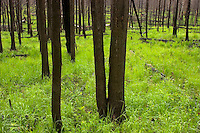 Fire & rebirth are part of a natural cycle that ensures healthy, diverse and sustainable forests