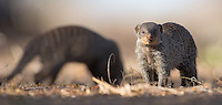 The banded mongoose is fairly common in Africa, but this was the first time I managed to get a decent photo op.