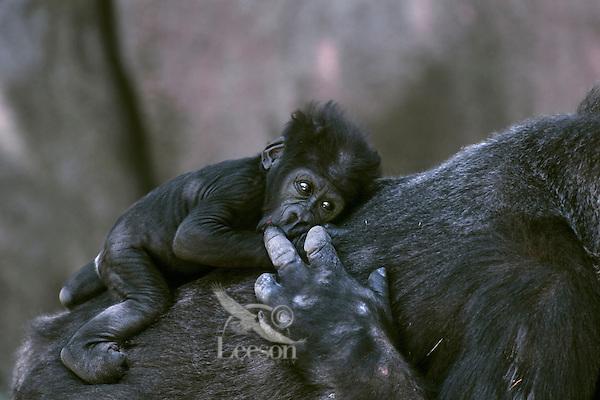 Female lowland Gorilla comforting small baby.