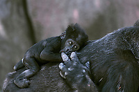 Female lowland Gorilla comforting small baby.