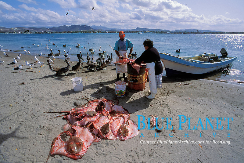 butchering stingrays to be sold in market at manta rays', Bahia de la Paz fishery, Baja, Mexico, Pacific Ocean