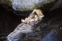 Sea Otter, Enhydra lutris nereis, Endangered Status, eating crab, Montery Bay, California, USA