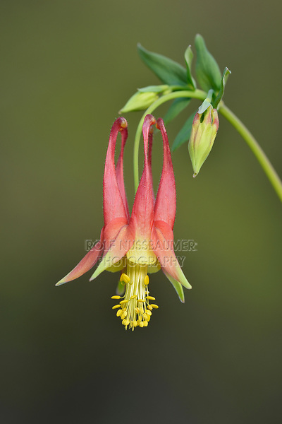 Red Columbine (Aquilegia canadensis), blooming, Hill Country, Central Texas, USA