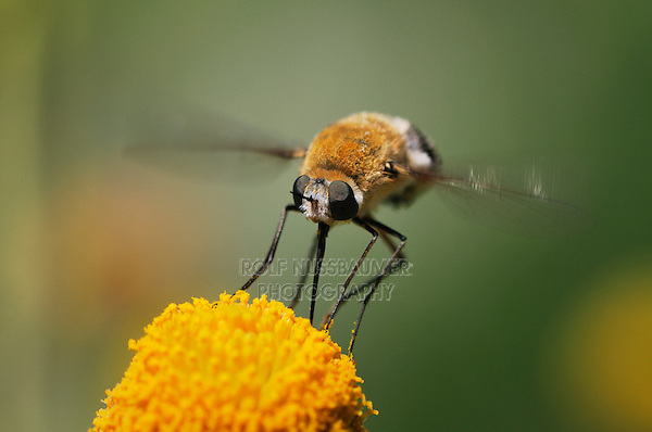 Large Bee Fly (Bombylius sp.), adult in flight feeding on Saladillo (Varilla texana), Laredo, Webb County, Texas, USA