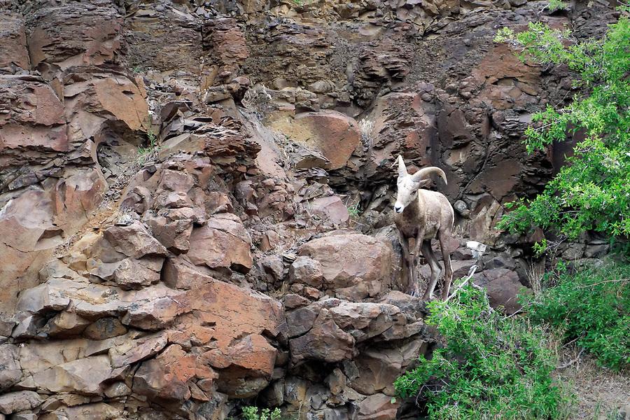 Male bighorn sheep (Ovis canadensis) on basalt cliffs above John Day River, north central Oregon desert, Oregon, USA