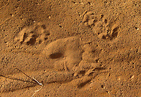 I always try to photograph footprints left behind by different animals during my trips.  Here, two different animals are represented.  The giant anteater left the big track in the middle, while a crab-eating raccoon left the smaller tracks.