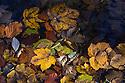 Autumn leaves floating in a lake, Plitvice Lakes National Park, Croatia. November.