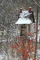 Handmade birdhouse accented by bittersweet berries in, Celiastrus scandes, snowy garden, midwest USA