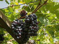 Weinanbau in Oberplars, Algund bei Meran, Region Südtirol-Bozen, Italien, Europa<br /> wine growing in Oberplars, Lagundo near Merano, Region South Tyrol-Bolzano, Italy, EuropeRegion South Tyrol-Bolzano, Italy, Europe