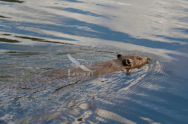 North American Beaver (Castor canadensis) swimming in lake.  Western U.S., June.
