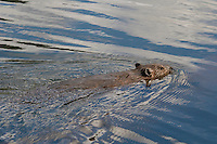North American Beaver (Castor canadensis) swimming in lake.  Western U.S., June.