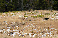 Wild GRAY WOLVES (Canis lupus) roaming through their territory.  Greater Yellowstone Ecological Area.  Fall.