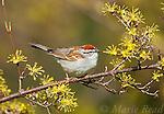 RR AprMay2021 Sparrows