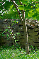 In situ comparison of the woody stem of young Redbud (Cercis canadensis) tree, versus the nearby herbaceous stem of a Jewelweed plant (Impatiens capensis).