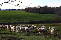 A characteristic picture of the Agro Romano in the winter, with a herd of sheep (two of them are looking just at the camera) grazing the grass of a meadow. There are an enclosure, some bare trees and bushes in background, too. Late afternoon in the Natural Reserve of the Marcigliana, near to the Nomentana road, at the border of Rome.<br /> <br /> Una foto caratteristica dell'Agro Romano d'inverno, con un branco di pecore (due delle quali stanno guardando proprio verso l'obiettivo) che brucano l'erba di un prato. Ci sono anche un recinto, degli alberi spogli e degli arbusti sullo sfondo. Tardo pomeriggio nella Riserva Naturale della Marcigliana, sulla Nomentana, subito fuori Roma.