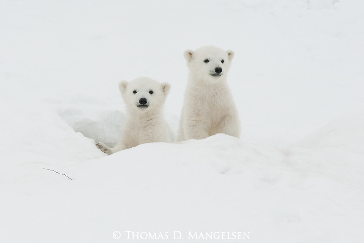 Two small polar bear cubs emerge from their den. Soon their mother will lead them on the arduous journey to Hudson Bay, where she'll be able to end her long, winter fast.
