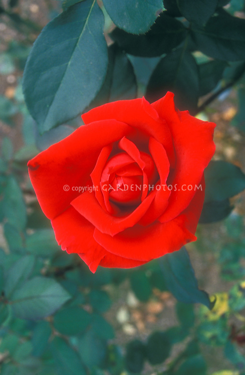 Rosa Mr. Lincoln red hybrid rose