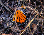 Monarch butterfly wing (RIP). Image taken with a Fuji X-T3 camera and 200 mm f/2 lens