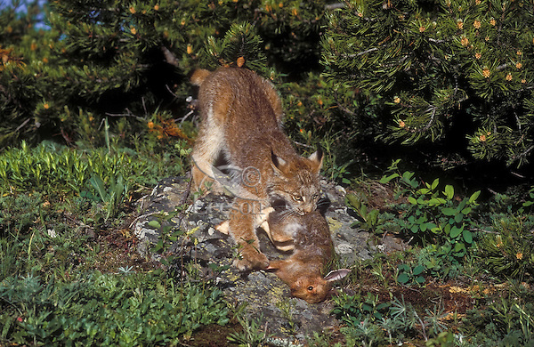 Lynx with snowshoe hare - main food source. Summer. Rocky Mountains. North America. Felis lynx canadensis.