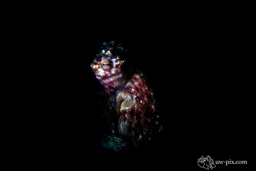 Octopus - snoot at Tulamben - Bali - Indonesia
