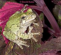 "0916-07mm  Gray Tree Frog - Hyla versicolor ""Virginia"" © David Kuhn/Dwight Kuhn Photography"