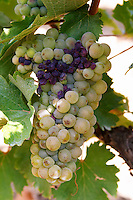 Bunches of ripe grapes. Some rotten by bad weather. Chenin Blanc. Vouvray village, Touraine, Loire, France
