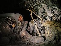 spotted hyaena, Crocuta crocuta, adults, feeding on the carcass of a dead elephant in the Okavango Delta, Botswana, African