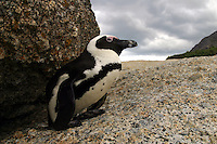 BLACK FOOTED PENGUIN Spheniscidae demersus. False Bay, South Africa.