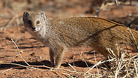 We've only seen the yellow mongoose when we visit the Kalahari.