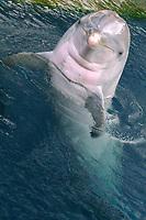 Bottlenose dolphin, Tursiops truncatus, Oahu, Hawaii (N. Pacific Ocean)