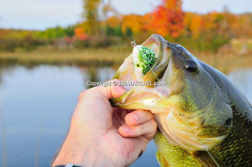 00710-018.16 Largemouth Bass: Close up of bass caught on Scum Frog is being lipped by angler against backdrop of fall color.  Calm, lake, fish.