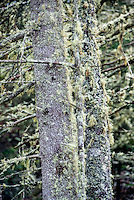 Tree moss on spruce trunks, Usnea.