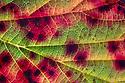 Violet Bramble Rust {Phragmidium violaceum} causing red colouration on Bramble leaf (Rubus fruticosus aggregate). Peak District National Park, Derbyshire, UK. October.
